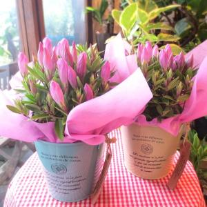秋の花リンドウはちょうど敬老の日の時期にお花を咲かせるんですよ♪  このリンドウの名前はメルヘン♪ ...