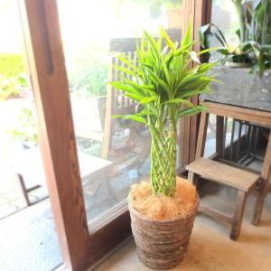 ミリオンバンブー ドラセナ サンデリアーナ 7号鉢サイズ 鉢植え 送料無料 薫る花 観葉植物 おしゃれ インテリアグリーン 大型 中型 プレゼント 開店祝い