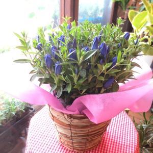 秋の花リンドウはちょうど敬老の日の時期にお花を咲かせるんですよ♪  このリンドウの名前はシャインブル...