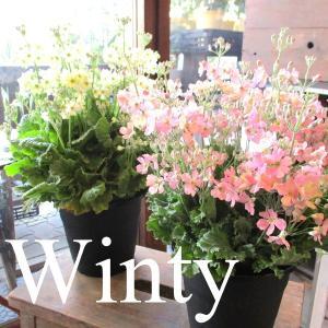 ウィンティー 5号鉢サイズ 鉢植え 選べる花色 プリムラ マラコイデス サクラソウ サントリーフラワ...