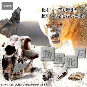 アニマル 化石 迫力 リアル 4種 ヒョウ イヌ ダチョウ シロクマ 動物 コレクション KZ-ANIKASE  予約|kasimaw