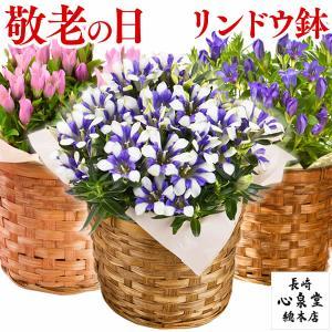 母の日 花 ギフト カーネーション ( 花鉢 鉢植え プレゼント フラワー 種類 高級 ) 4号 MDFV|kasutera1ban