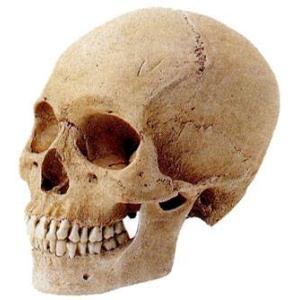 ホルベイン 頭骨モデル(米国製)頭蓋骨(男) デッサン|kawachigazai