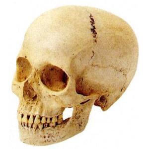 ホルベイン 頭骨モデル(米国製)頭蓋骨(女) デッサン|kawachigazai
