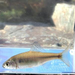(淡水魚)マタナゴ(タナゴ)(3匹)【生体】
