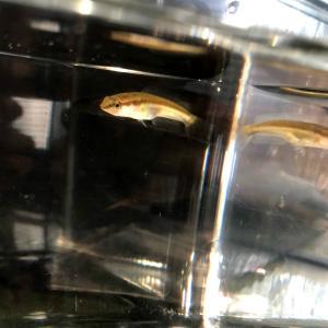 (淡水魚)タイワンドジョウ(雷魚)(1匹)【生体】