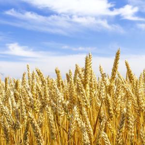 春よ恋 10kg / 1kg×10袋 北海道産 平和製粉 強力粉 チャック付 国産 パン用小麦粉 ハルヨコイ はるよこい ホームベーカリー パン作り 材料 10キロ 強力小麦粉|ke-thi-fuudo-rabo|07