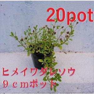 ヒメイワダレソウ 20本セット リピア 除草対策に かわいい金平糖のようなお花 苗
