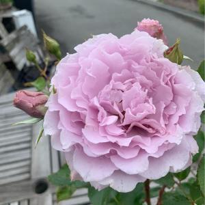 ライラックラベンダー色から淡いシルバーになる大人かわいい 色合い。花びらは幾重にも織り込まれたレース...