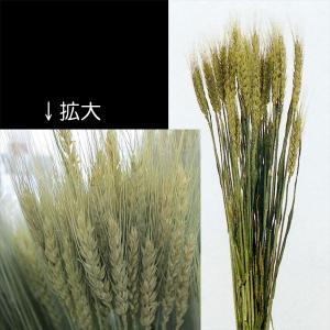ドライフラワー・小麦・ナチュラル・全長50cm・4束セット(1束40本×4束)(穀物/こむぎ/コムギ)(天然素材/自然素材)(花材)(アレンジ/ディスプレイ)