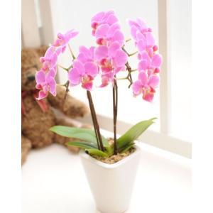 明日贈れる テーブル胡蝶蘭|kihana-shop|02