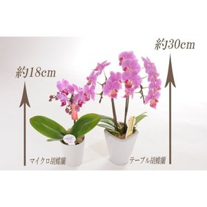 明日贈れる マイクロ胡蝶蘭|kihana-shop|02