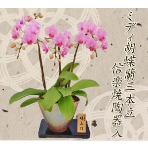 明日贈れる ミディ胡蝶蘭信楽焼陶器入り3本立|kihana-shop