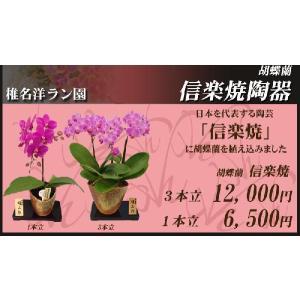 明日贈れる ミディ胡蝶蘭信楽焼陶器入り3本立|kihana-shop|03