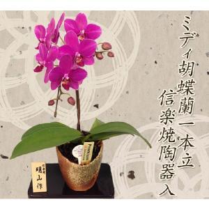 明日贈れる ミディ胡蝶蘭信楽焼陶器入り1本立|kihana-shop