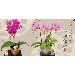 明日贈れる ミディ胡蝶蘭信楽焼陶器入り1本立|kihana-shop|05