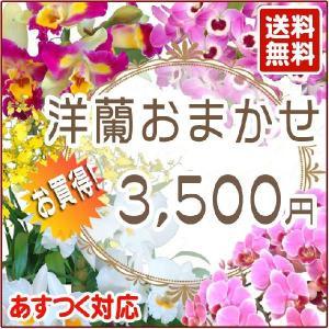 洋蘭おまかせ3,500円|kihana-shop