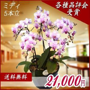 胡蝶蘭(コチョウラン) ミディ ピンク 5本立 25|kihana-shop