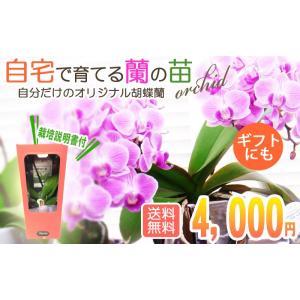 自宅で育てる胡蝶蘭の苗|kihana-shop