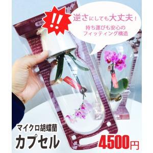椎名洋ラン園のマイクロ胡蝶蘭1本立「カプセル」|kihana-shop