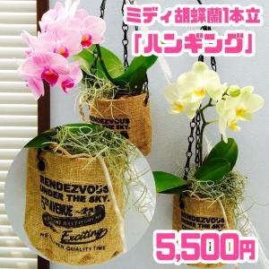 椎名洋ラン園のミディ胡蝶蘭1本立「ハンギング」|kihana-shop