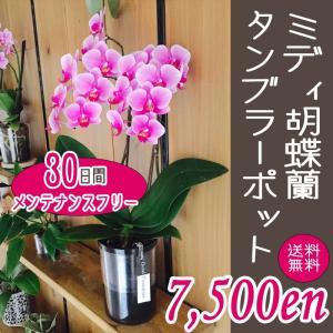 ミディ胡蝶蘭タンブラーポット2本立|kihana-shop