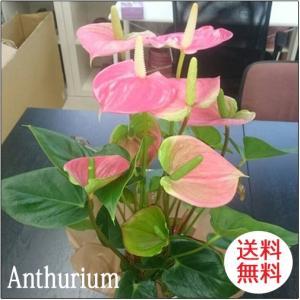 観葉植物 アンスリウムピンク バスケット付き送料無料 開店祝い 新築祝いにオススメ|kihana-shop