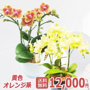 世界ラン展多数受賞!椎名洋ラン園のミディ3本立<黄色・オレンジ系>|kihana-shop