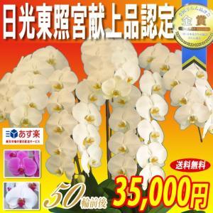 胡蝶蘭 大輪 5本立ち 35,000円 選べる3色 明日贈れる 贈答用 お祝い ギフト お供え|kihana-shop