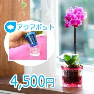 【敬老ギフト】椎名洋ラン園のマイクロ胡蝶蘭「アクアポット」|kihana-shop
