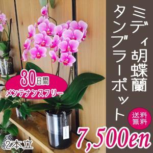 【敬老ギフト】ミディ胡蝶蘭タンブラーポット2本立|kihana-shop