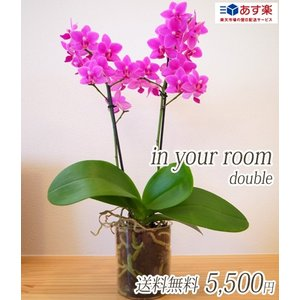 【敬老ギフト】明日贈れる カジュアル胡蝶蘭「in your room」Double(2本立ち)|kihana-shop