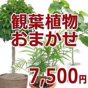 観葉植物おまかせ7,500円|kihana-shop