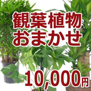 観葉植物おまかせ10000円|kihana-shop