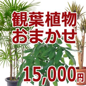 観葉植物おまかせ15000円|kihana-shop