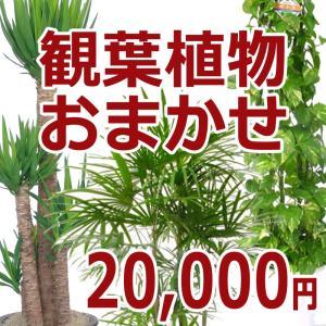 観葉植物おまかせ20000円|kihana-shop