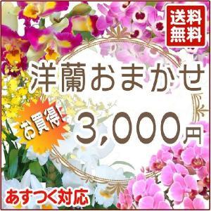 母の日ギフト 洋蘭おまかせ3,000円...