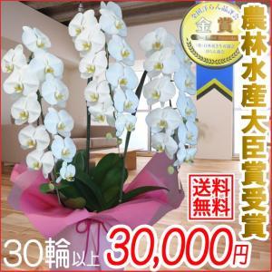 胡蝶蘭(コチョウラン) 大輪 白 3本立 30輪以上 9|kihana-shop