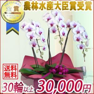 胡蝶蘭(コチョウラン) 大輪 赤リップ 3本立 30輪以上 10|kihana-shop