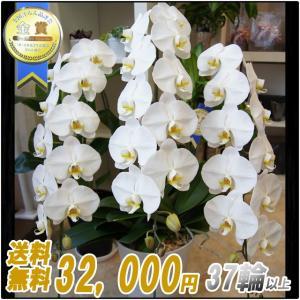 胡蝶蘭(コチョウラン) 大輪 白 3本立 37輪以上 2|kihana-shop