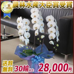 胡蝶蘭(コチョウラン) 大輪 白 3本立 30輪以上 5|kihana-shop