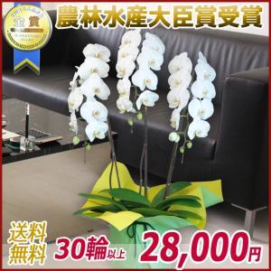 胡蝶蘭(コチョウラン) 大輪 白 3本立 30輪以上 6|kihana-shop