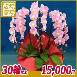 胡蝶蘭(コチョウラン)  ピンク 3本立 27輪以上 11|kihana-shop