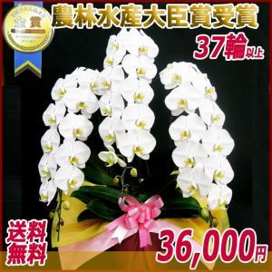 胡蝶蘭(コチョウラン) 大輪 白 3本立 37輪以上 12|kihana-shop