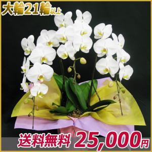 胡蝶蘭(コチョウラン) 大輪 白 3本立 21輪以上 14|kihana-shop