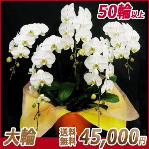 胡蝶蘭(コチョウラン) 大輪 白 5本立 50輪以上 15|kihana-shop