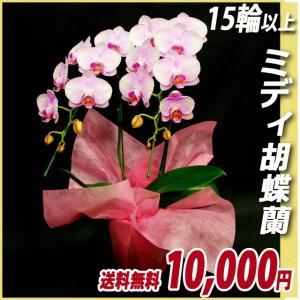 胡蝶蘭(コチョウラン) ミディ ピンク 2本立 15輪前後〜 17|kihana-shop