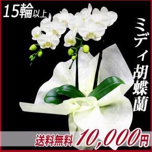 胡蝶蘭(コチョウラン) ミディ 白 2本立 15輪以上 18|kihana-shop
