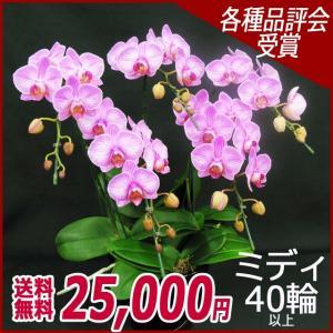 胡蝶蘭(コチョウラン) ミディ ピンク 5本立 40輪以上 19|kihana-shop