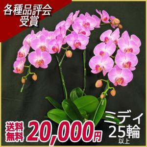 胡蝶蘭(コチョウラン) ミディ ピンク 3本立 25輪以上 20|kihana-shop